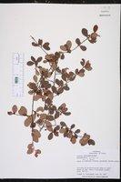 Image of Erythroxylum brevipes