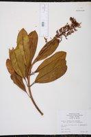 Vochysia hondurensis image
