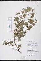 Physalis cinerascens var. cinerascens image