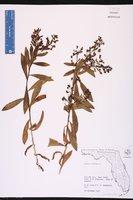 Capraria biflora image