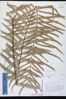 Drynaria rigidula image