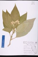 Solanum mauritianum image