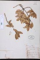 Quercus emoryi image
