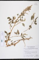 Amaranthus dubius image