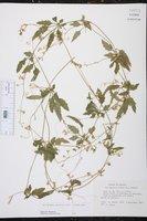 Cyclanthera dissecta image