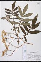 Solanum ochranthum image