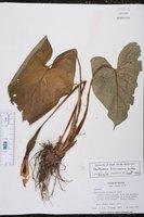 Xanthosoma mexicanum image