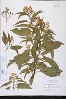 Solanum nitidum image
