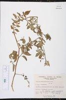 Solanum pimpinellifolium image
