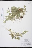 Selaginella guatemalensis image