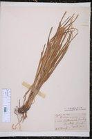 Carex brittoniana image