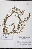 Vicia andicola image