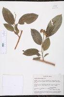 Image of Sapium pedicellatum