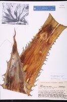 Agave gigantensis image
