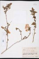 Image of Hibiscus ribifolius