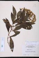 Image of Critonia dalea