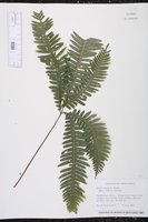 Image of Pteris pungens