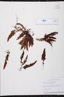 Hymenophyllum undulatum image
