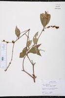 Image of Gonzalagunia rudis