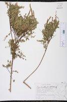 Eysenhardtia parvifolia image