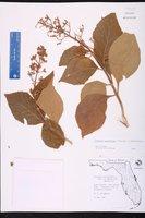 Cornutia grandifolia image