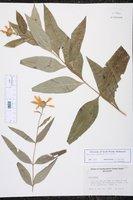Helianthus arenicola image