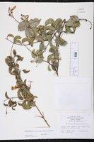 Image of Amphilophium lactiflorum