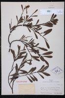Acacia retinodes image