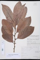 Image of Diospyros campechiana