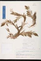Ceratophyllum muricatum image