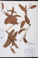 Smilax domingensis image