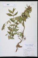 Spermacoce latifolia image