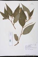 Piper villiramulum image