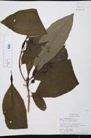 Image of Miconia bullifera