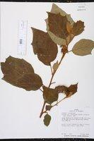 Image of Solanum accrescens