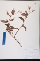 Begonia acutifolia image
