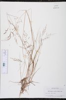 Eragrostis acutiflora image