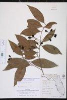 Damburneya coriacea image