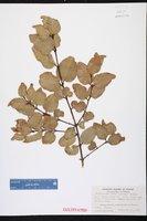 Image of Cryptocarya rubra