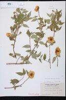 Philadelphus mexicanus image