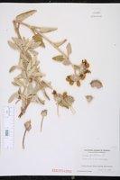 Phlomis fruticosa image