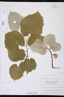 Tilia tomentosa image