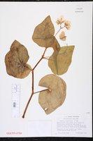 Begonia subvillosa image