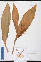 Hedychium gardnerianum image
