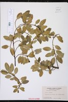 Rhamnus alaternus image