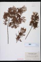 Image of Acacia cardiophylla
