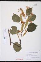Tilia euchlora image