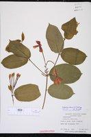 Combretum indicum image