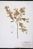 Solanum jasminoides image