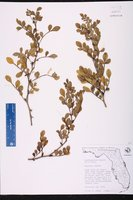 Zanthoxylum fagara image